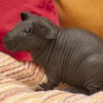 hairless_guinea_pig