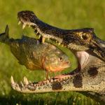 krokodil_piranha