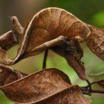 leaftail_gecko